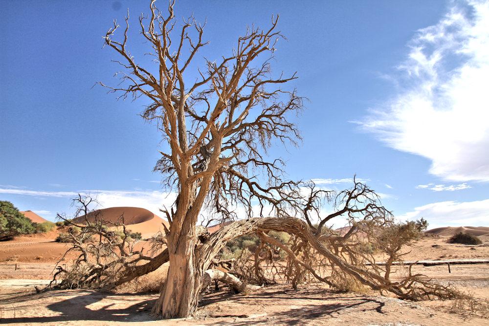 ARBRES_003 * Acacia erioloba, Sossusvlei