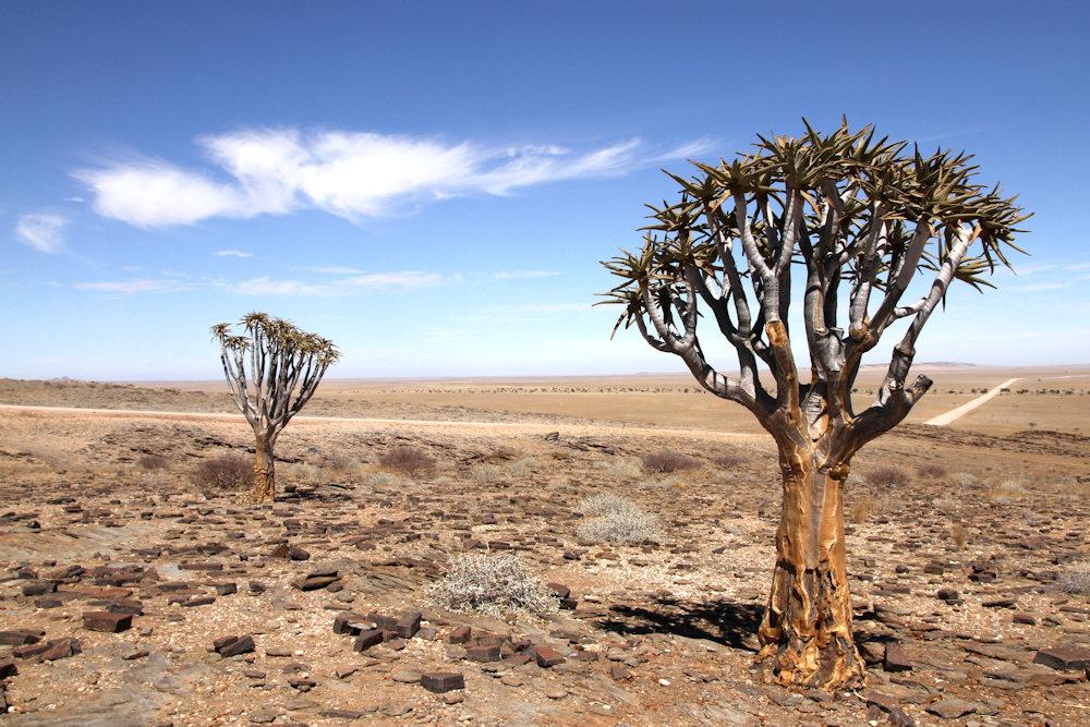 ARBRES_001 * Namibie